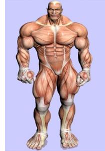 fibras musculares brancas e vermelhas