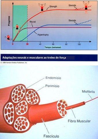 celulas satelites hipertrofia muscular e resultados treino de força