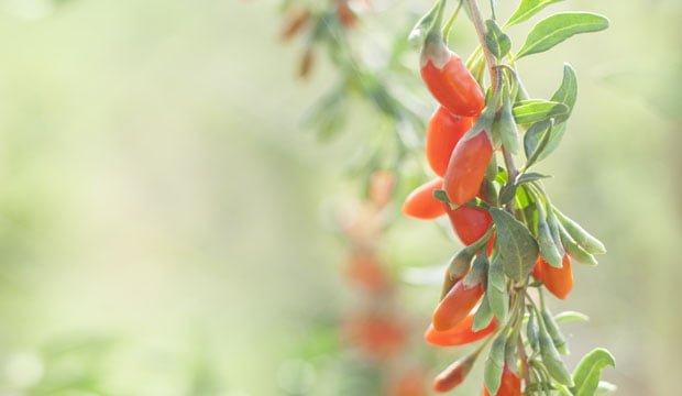Goji berry planta e fruta origem