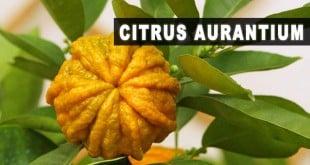 Citrus aurantium para que serve emagrece efeitos colaterais dosagem