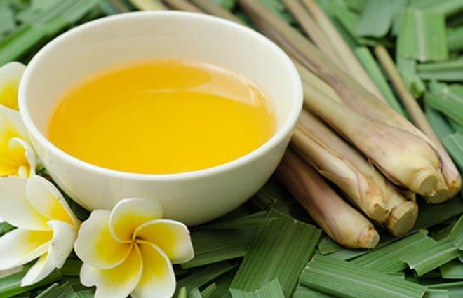 planta capim citronela óleo