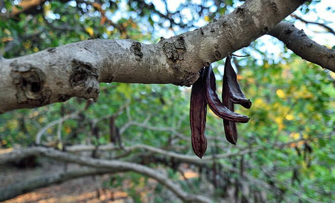 Árvore alfarrobeira