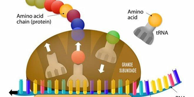 8 dicas para maximizar a síntese proteica